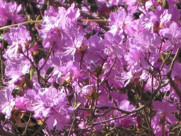 Багульник в цвету, альбом Природа Тулуна и нашего региона