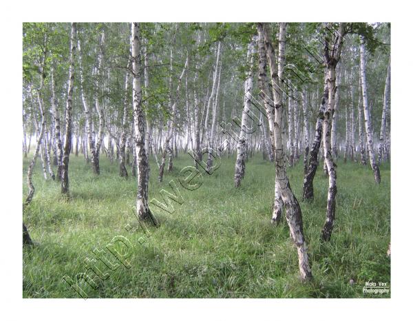 берёзовая роща, альбом Природа Тулуна и нашего региона