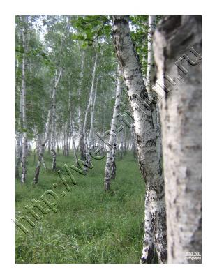 берёзовая роща2, альбом Природа Тулуна и нашего региона